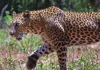 Udaipur villages sleepless nights under panther fear