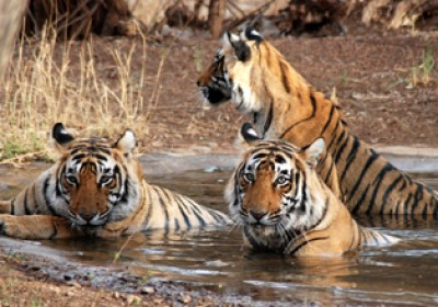 Ranthambore's new tiger safari zone to open from Jan 18