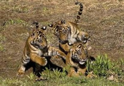 Ranthambore National Park will not stop in monsoon : Hotel-tourism lobby's Said